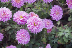Autumn flower royalty free stock photo