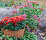 Autumn flowerbed with chrysanthemums, and sedum Royalty Free Stock Image