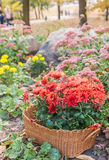 Autumn flowerbed with chrysanthemums, and sedum Royalty Free Stock Photos