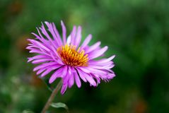 Shallow asters. Autumn flowering of bright, shallow asters Royalty Free Stock Images