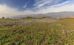 Autumn flowering crocuses.Pirkuli.Azerbaijan Royalty Free Stock Images
