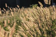Autumn Flowering gräs Arkivbilder