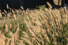 Autumn Flowering grass Stock Images
