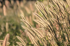 Autumn Flowering grass stock image