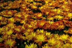 Autumn flowers Royalty Free Stock Photos