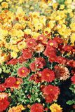 Autumn flowers. Of red and orange Royalty Free Stock Image
