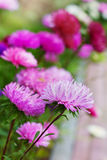 Autumn flowers aster Royalty Free Stock Photography