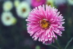 Autumn flowers. An aster (lat. Aster) is a sort of one-year and long-term grassy plants of family Aster stock photography