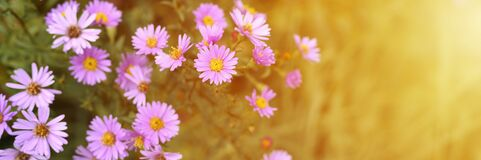 Free Autumn Flowers Aster Novi-belgii Vibrant Light Purple Color In Full Bloom In The Garden. Banner. Flare. Royalty Free Stock Images - 200006749