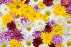 Autumn flowers background. Autumn background consisting of different flowers Royalty Free Stock Image