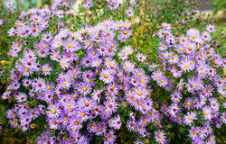 Autumn flowers, beautiful chrysanthemums in flower bed. Pink asters growing in the park. Stock Photos