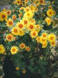 Autumn flowers, beautiful chrysanthemums in flower bed. Yellow asters growing in the park. Stock Photography