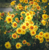 Autumn flowers, beautiful chrysanthemums in flower bed. Yellow asters growing in the park. Royalty Free Stock Photography