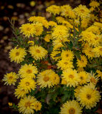 Autumn flowers, beautiful chrysanthemums in flower bed. Yellow asters growing in the park. Stock Image