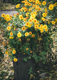 Autumn flowers, beautiful chrysanthemums in flower bed. Yellow asters growing in the park. Royalty Free Stock Images