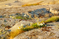 Autumn flowers on bedrock, Norway Royalty Free Stock Images