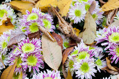 Autumn flowers Chrysanthemum. Maple leaves on top. Marguerite. Royalty Free Stock Photo