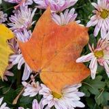 Autumn flowers. Chrysanthemum. Stock Images