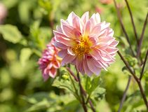 Dahlia and the sun. Autumn Flowers coming to life royalty free stock photos