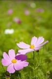 Autumn flowers, Cosmos bipinnata Cav Stock Image