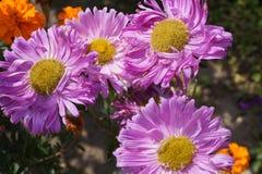 Autumn flowers. Daisies in the garden Stock Photos
