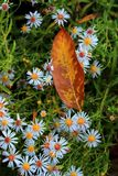 Autumn flowers with fallen orange leaf stock photography