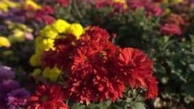 Autumn flowers garden stock video footage