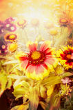 Autumn flowers in  garden or park over sun light Royalty Free Stock Image