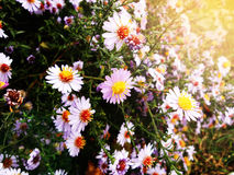 Autumn flowers, golden autumn. Warm time before the cold. Weather Royalty Free Stock Photography