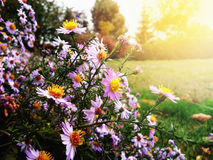 Autumn flowers, golden autumn. Warm time before the cold. Weather Royalty Free Stock Images