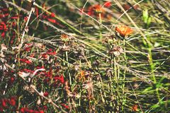 Autumn flowers with magic colors. Amazing magic of the nature. Medows on Pacific Crest Trail royalty free stock photo