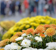 Autumn flowers on the market in rainy day Stock Image