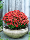 Autumn Flowers Mums. A stone container of mums in fall season royalty free stock image