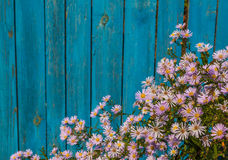 Autumn flowers near the fence. Aster alpinus perennial blooming in autumn near a wooden fence Royalty Free Stock Image