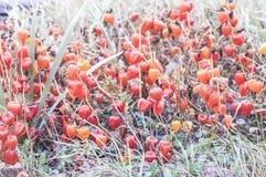 Autumn flowers.photo. Dry orange autumn flowers. physalis alkekengi Royalty Free Stock Photos