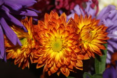 Autumn flowers. Red and yellow chrysanthemum flowers Stock Image