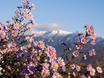 Autumn flowers tell the coming of winter and snow on the nearby mountains. In the quiet of the afternoon, the colors blend perfectly Stock Photos