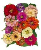 Autumn flowers of a tsiniya Royalty Free Stock Photo