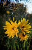 Autumn flowers. Under morning sun Royalty Free Stock Image