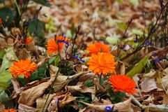 Autumn flowers and withered leaves Stock Image