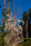 Autumn fluff willow-herb, which grew in the forest Royalty Free Stock Photo