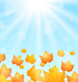 Autumn Flying Maples in Blue Sky Royalty Free Stock Image