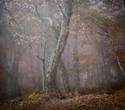 Autumn fog forest. Autumn beautiful forest and fog Royalty Free Stock Images