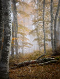 Autumn fog forest Stock Images