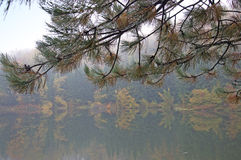 Autumn fog on the lake with pine needles with drops of dew Stock Photos