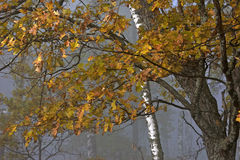 Autumn foggy forest Royalty Free Stock Photos