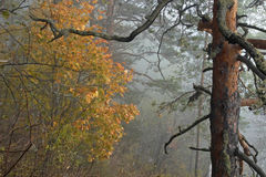 Autumn foggy forest stock image