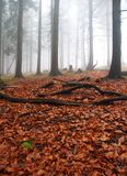 Autumn foggy forest Royalty Free Stock Images