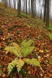 Autumn foggy forest Royalty Free Stock Image