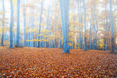 Autumn foggy forest Stock Images